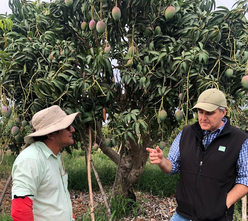 Mango en Ecuador