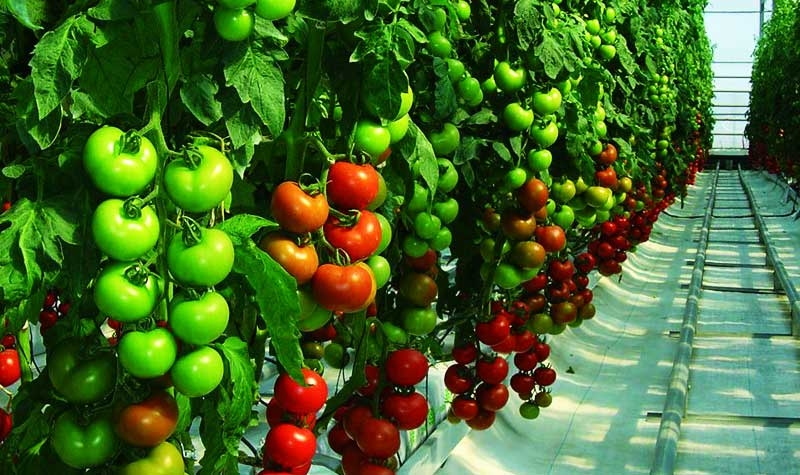 Longer shelf life for the greenhouse tomato in Coahuila