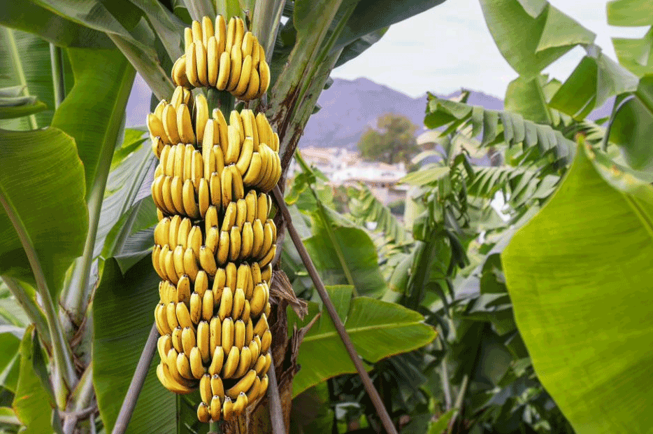 More productive bananas in the alkaline soil of Lebanon