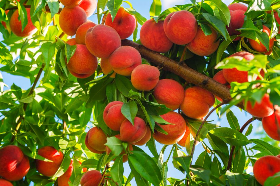 "Subsistence agriculture and ""wrapped"" peaches in a corner of China"
