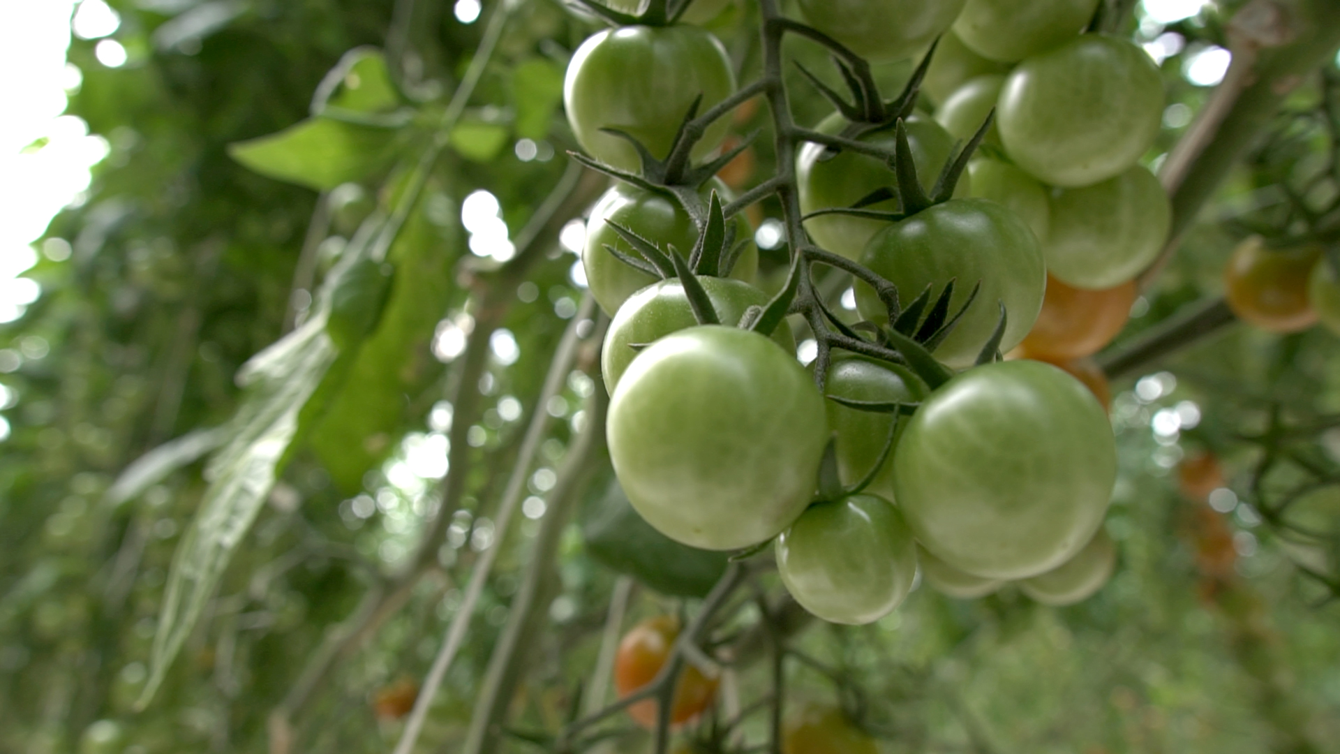 SPN Successful cases, greenhouse Tomato – Mexico