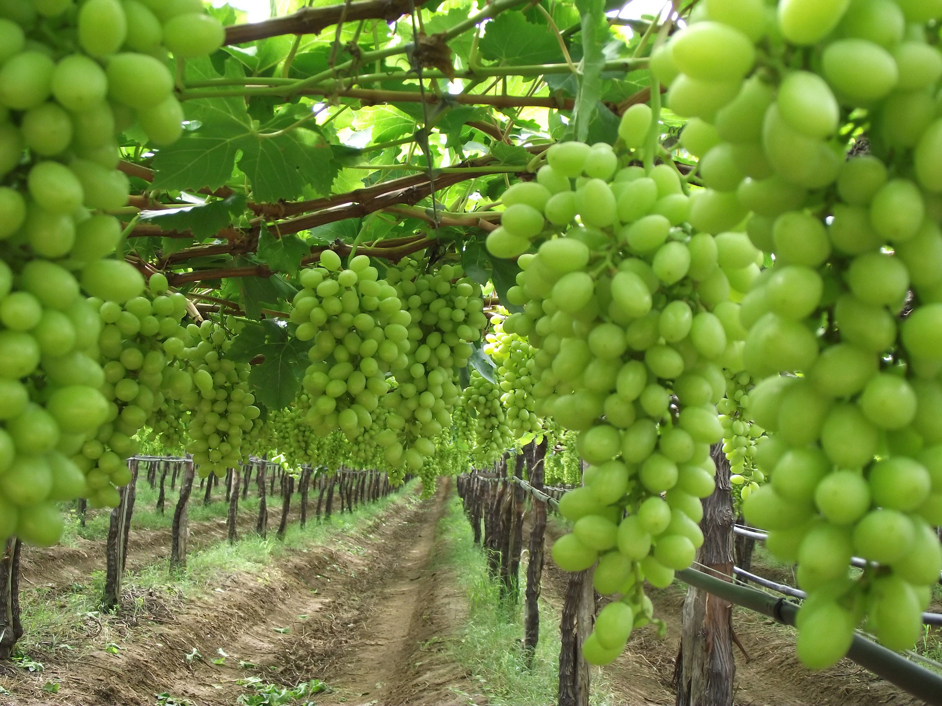 SPN in the Field – Table Grapes, Guaymas, Mexico